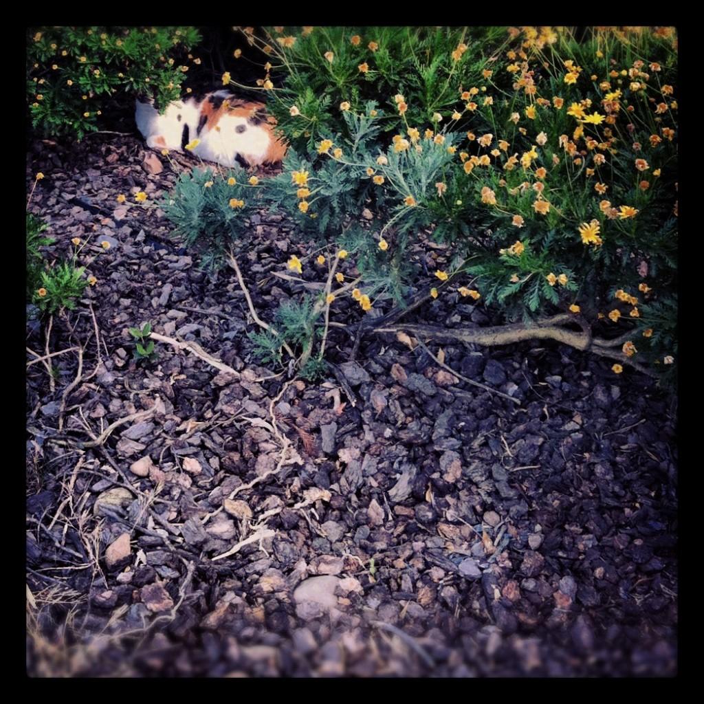 Callie under her favorite bush.